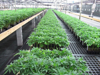 Wholesale CBD Starter Plants