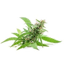 Wholesale CBD Hemp Flower